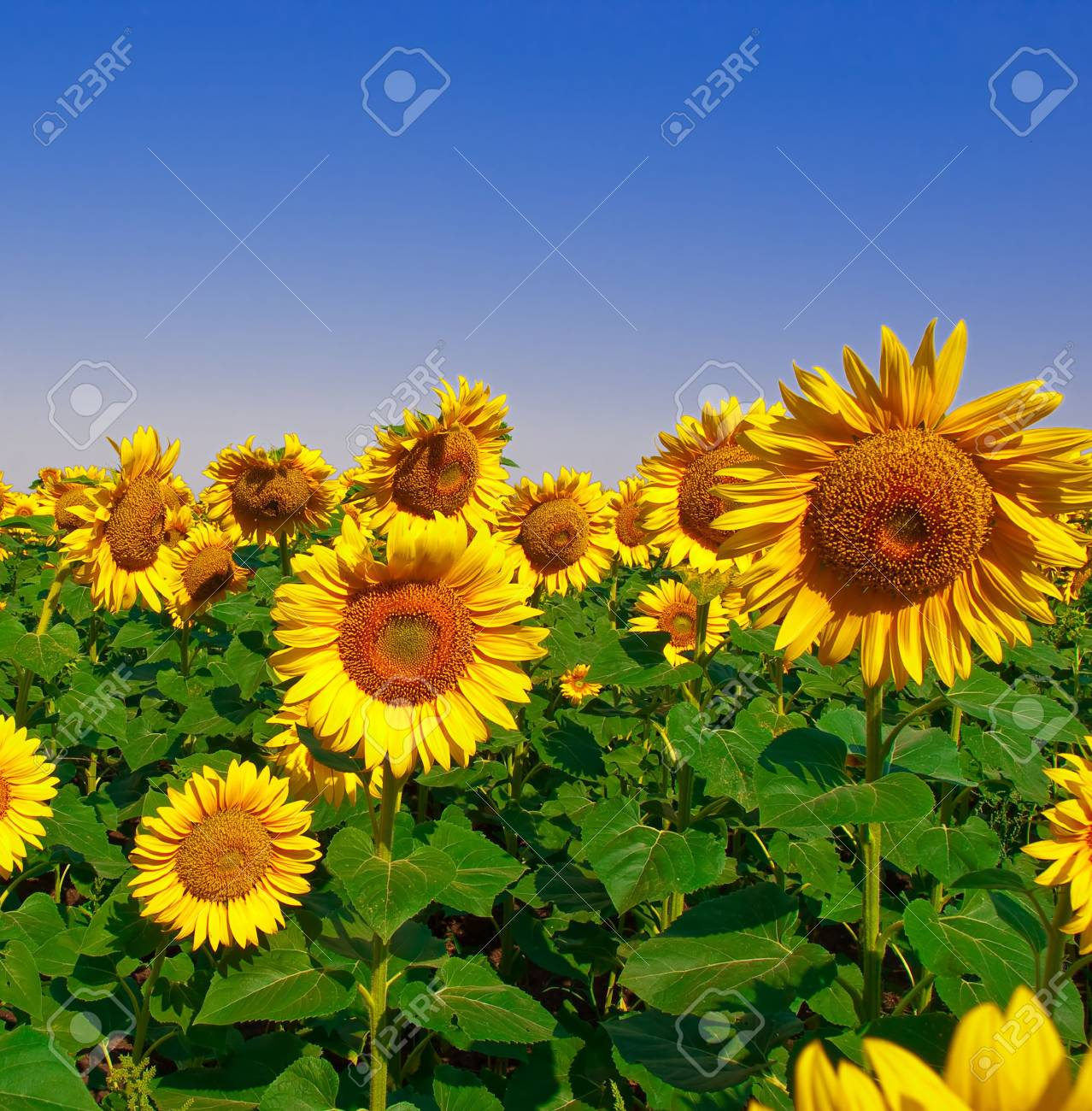 Field of seeds of sunflower against the blue sky Stock Photo - 5377011