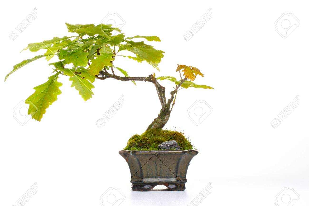 Oak Bonsai Stock Photo Picture And Royalty Free Image Image 22107327