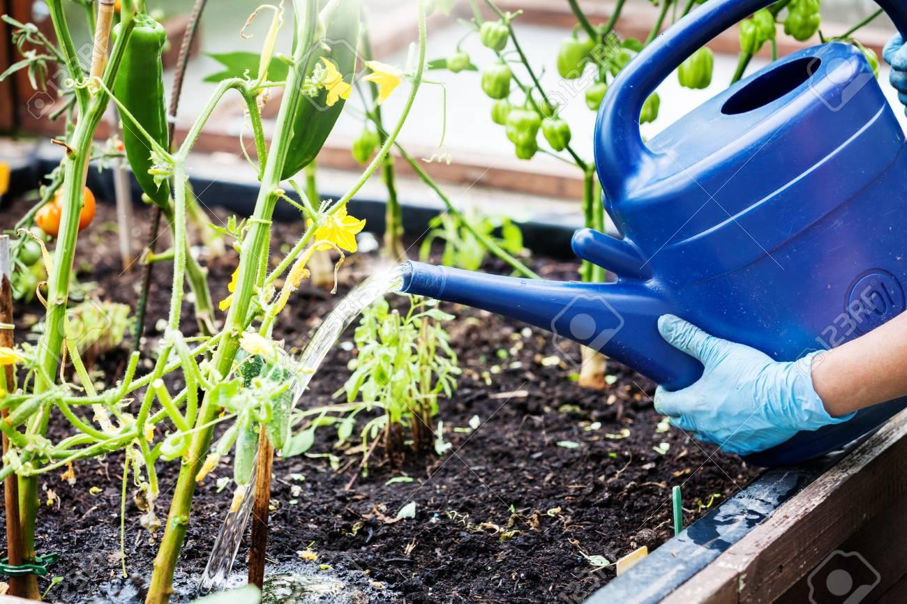 Bewasserung Von Pflanzen Im Hochbeet Lizenzfreie Fotos Bilder Und