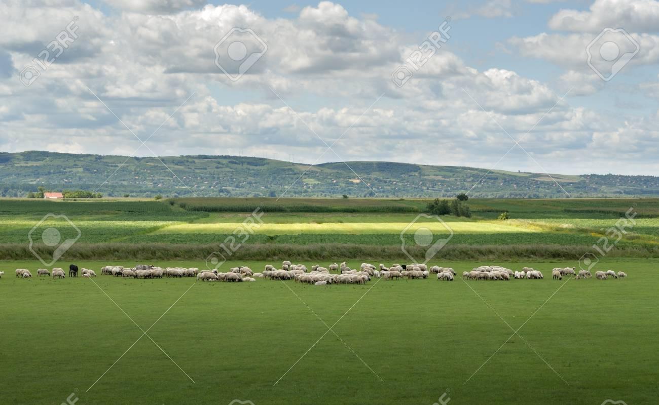 sheep on pasture Stock Photo - 9229290