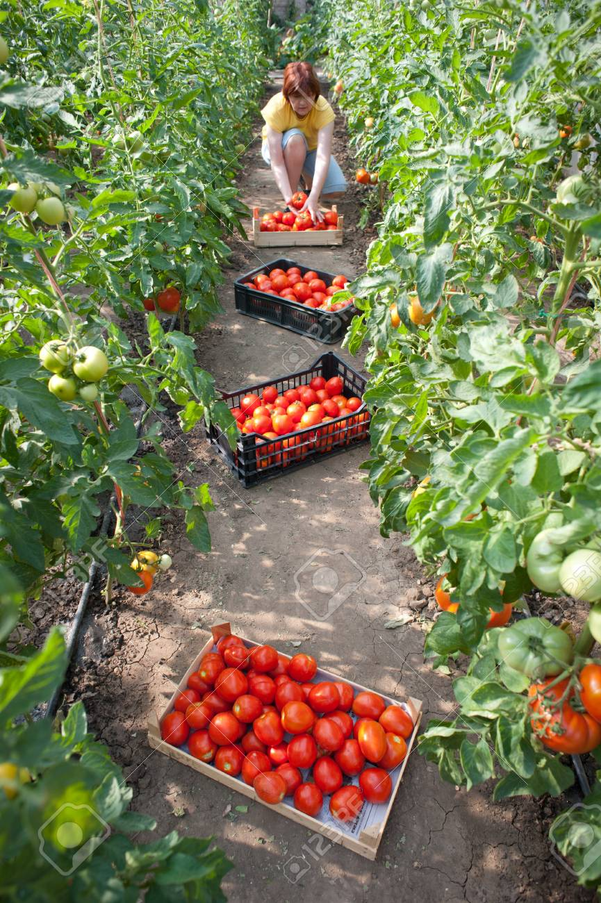 Woman picking fresh tomatoes in greenhouse Stock Photo - 9947435
