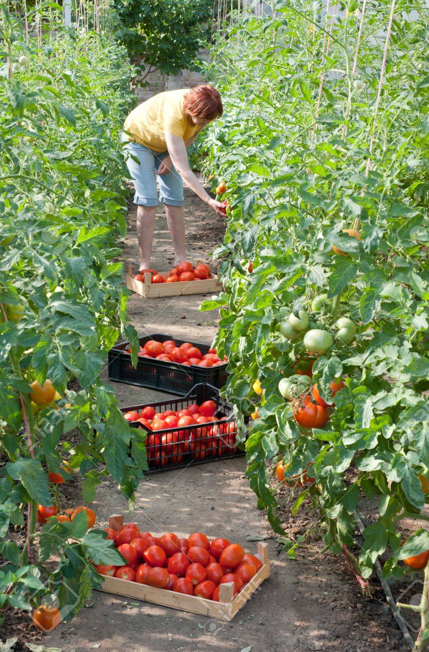 Woman picking fresh tomatoes in greenhouse Stock Photo - 10101582