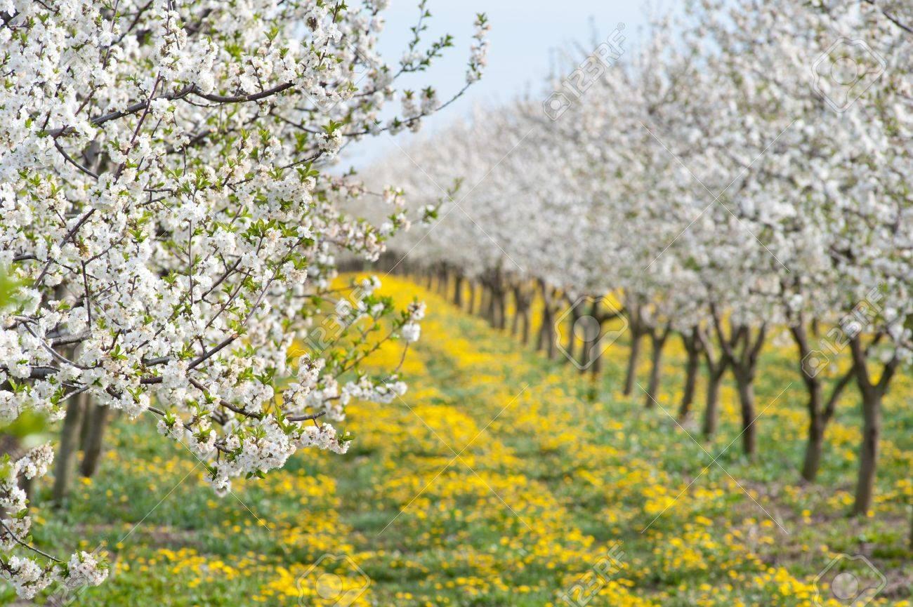 Цветущий яблоневый сад
