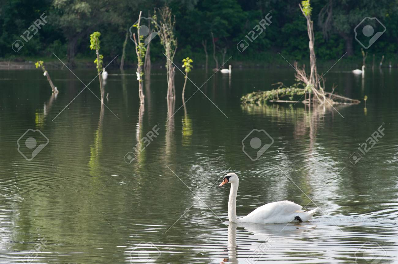 white swans  floating on the water Stock Photo - 13831282