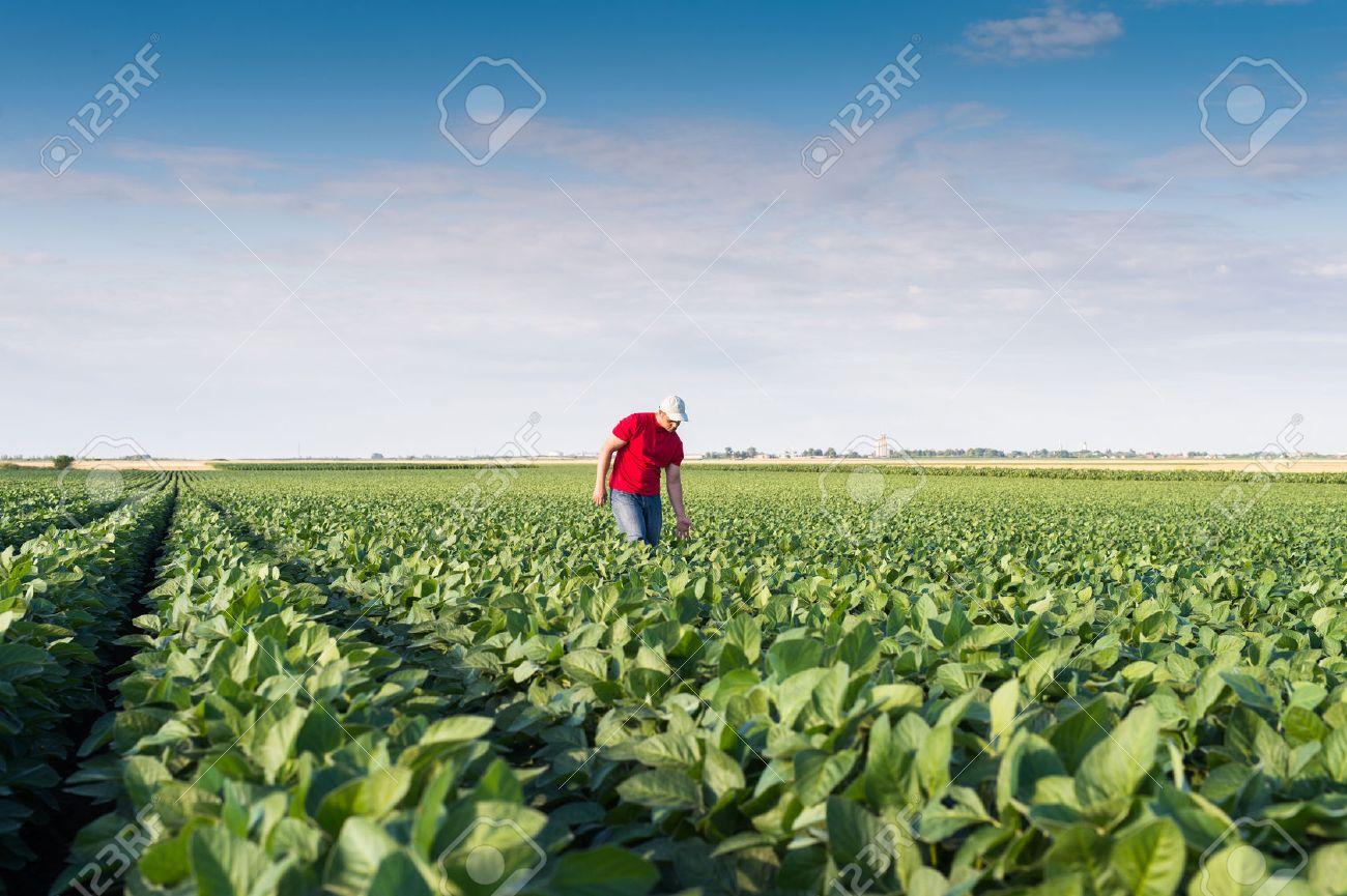 Young farmer in soybean fields - 43031514