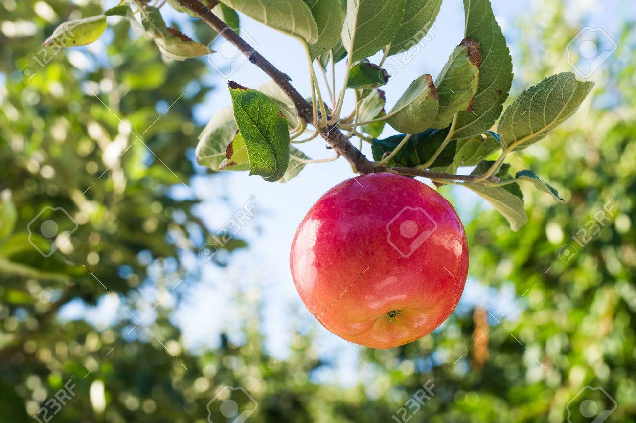 Red apple on apple tree branch - 43822234