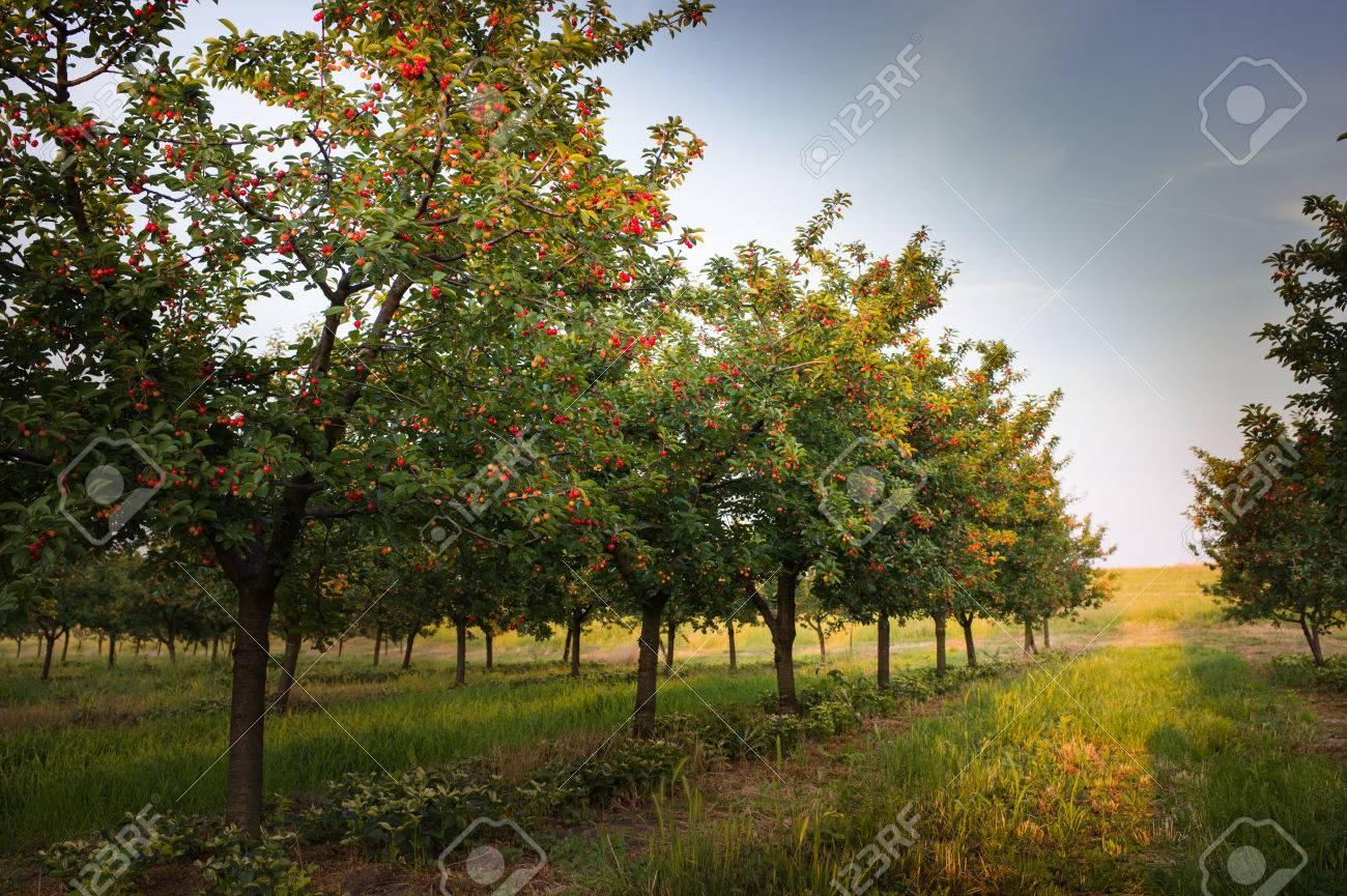 Ripening cherries on orchard tree - 51608334