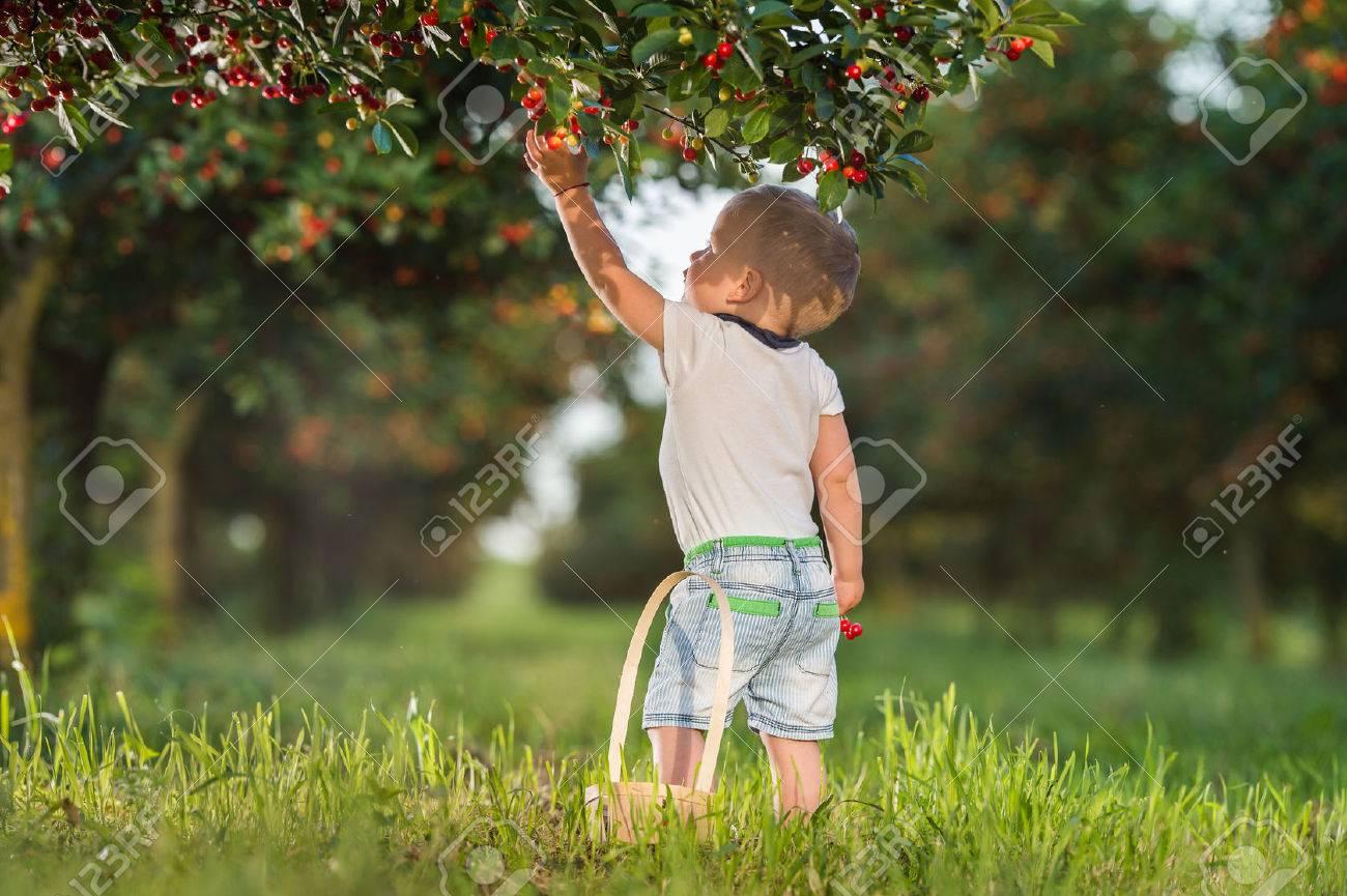 Boy picking cherry on a fruit farm. - 58683673