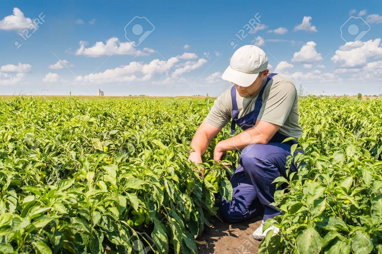 Young farmer in pepper fields - 61420713