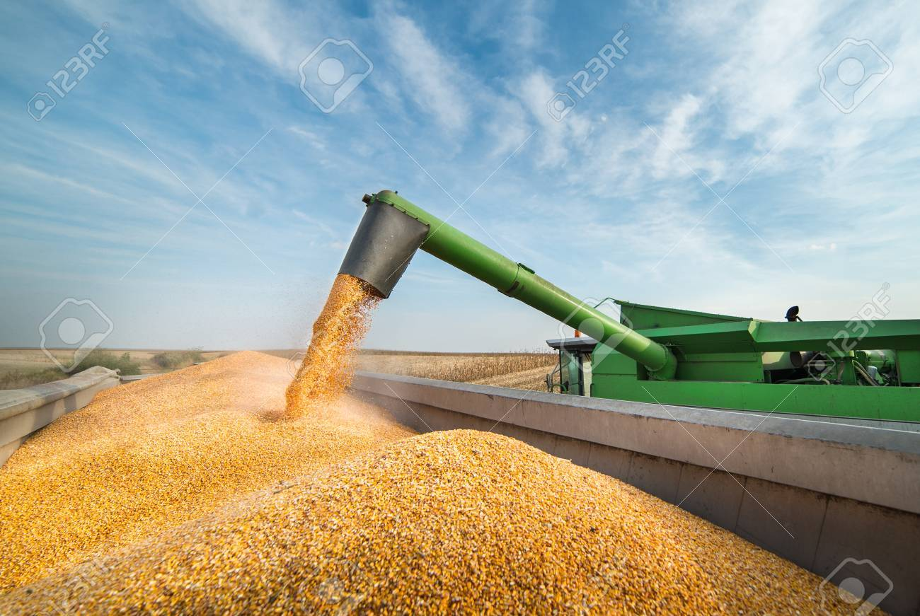 Pouring corn grain into tractor trailer after harvest - 65723161