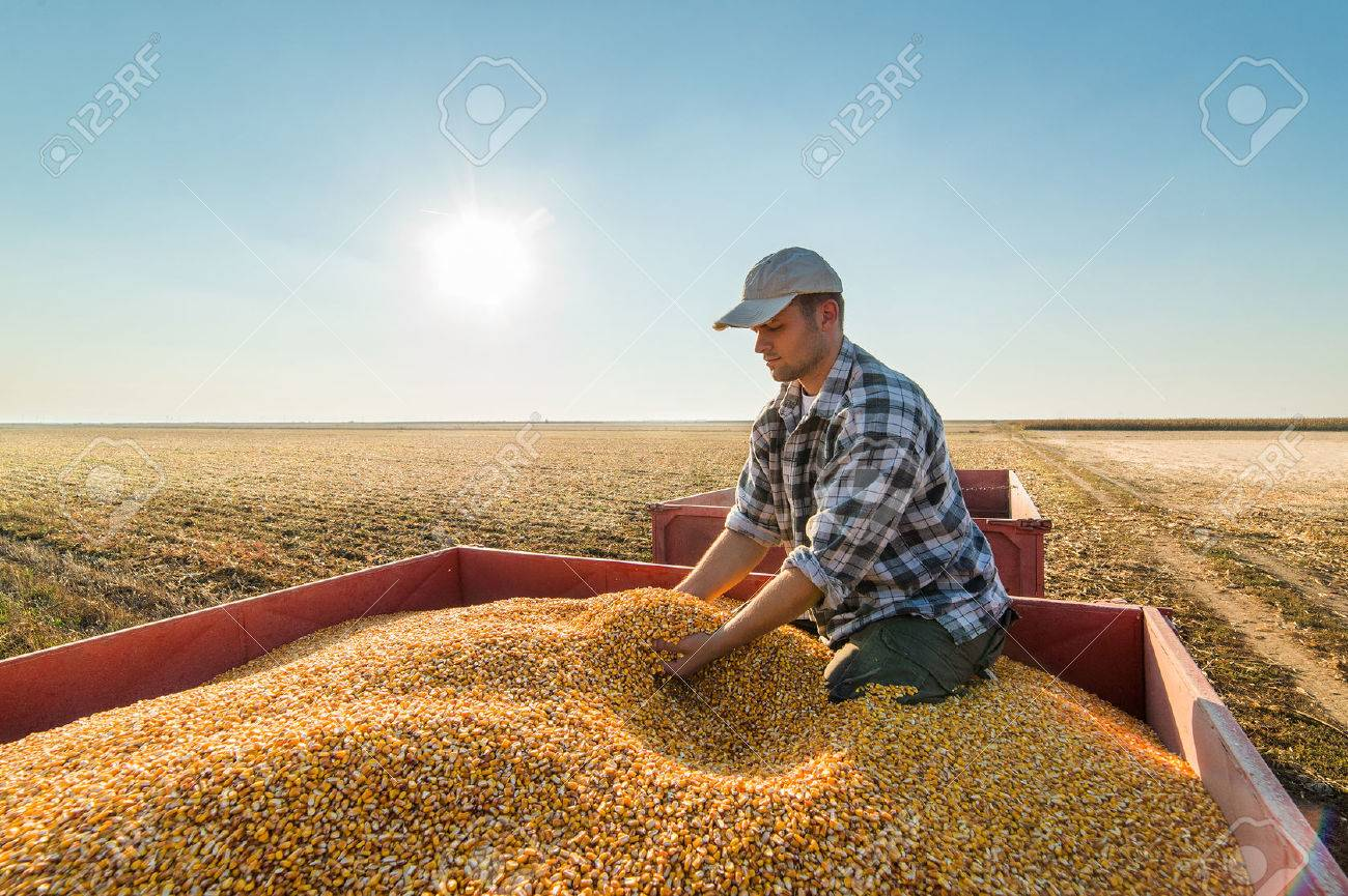 Young farmer looking at corn grains in tractor trailer after harvest - 64218035