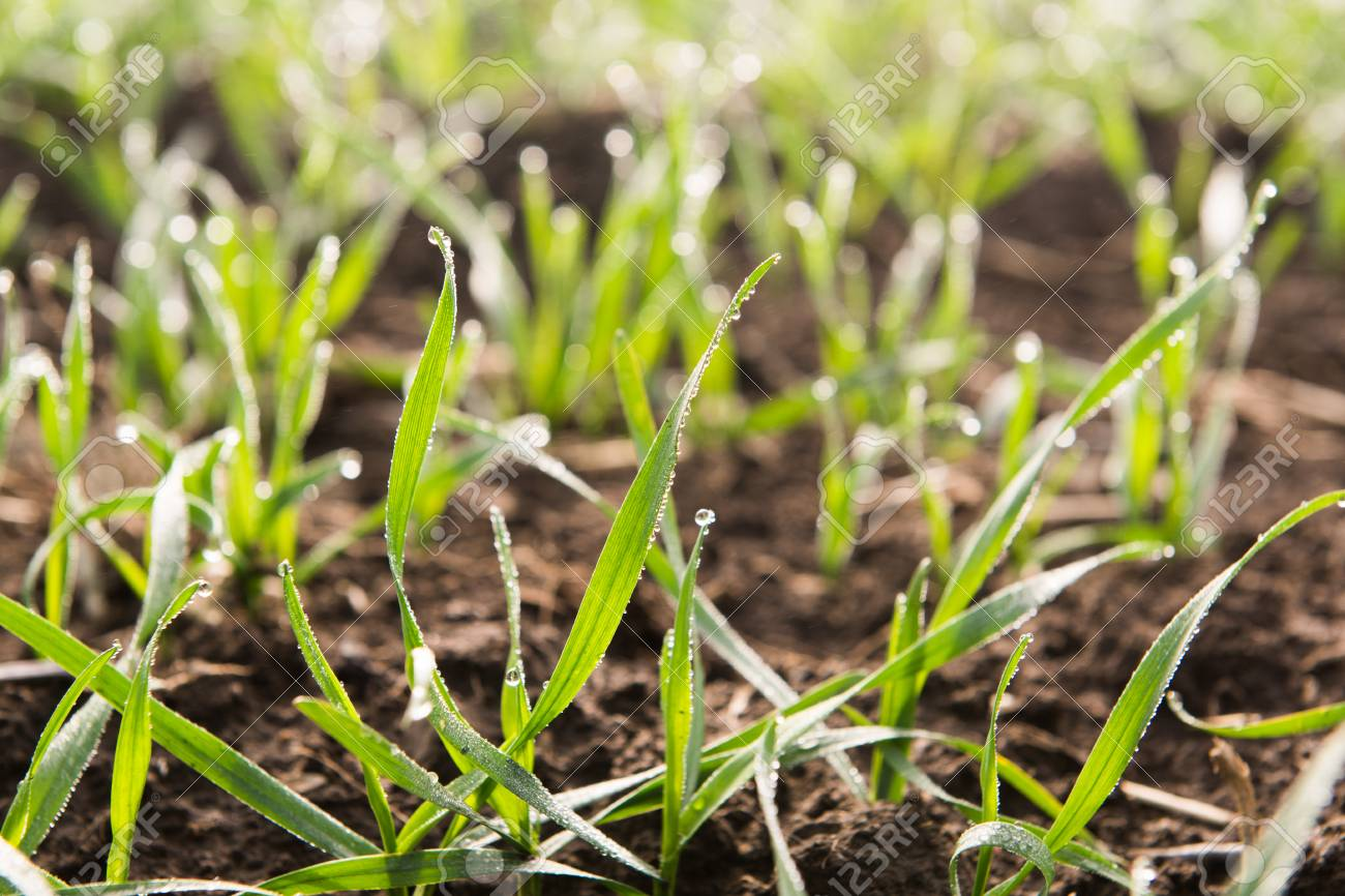 young wheat seedlings growing in a soil macro stock photo picture