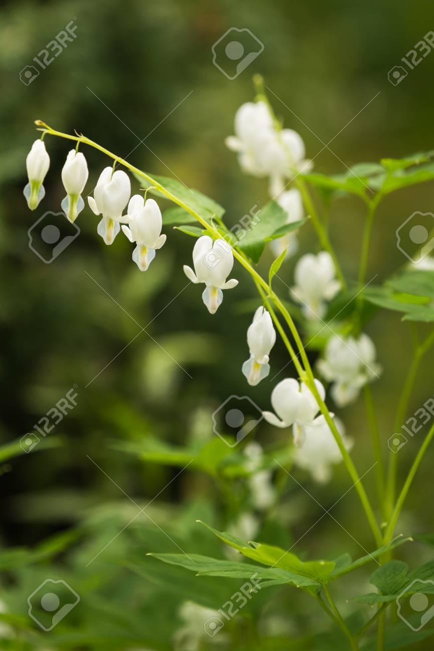 White Bleeding Heart Flowers Dicentra Spectabilis Alba In Spring