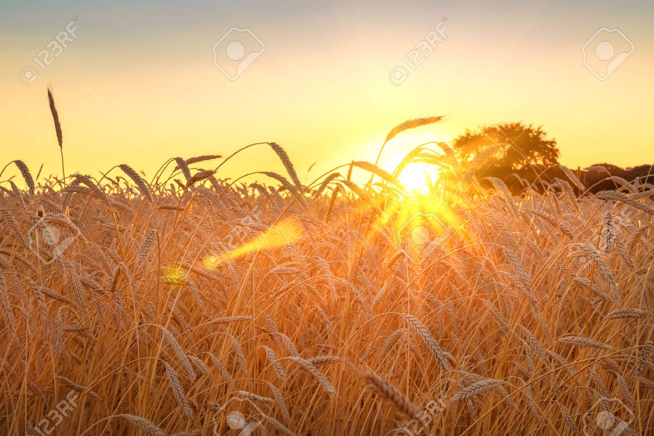 Wheat field with blue sky with sun and clouds against the backdrop of a trees when the harvest is ripe - 90218448