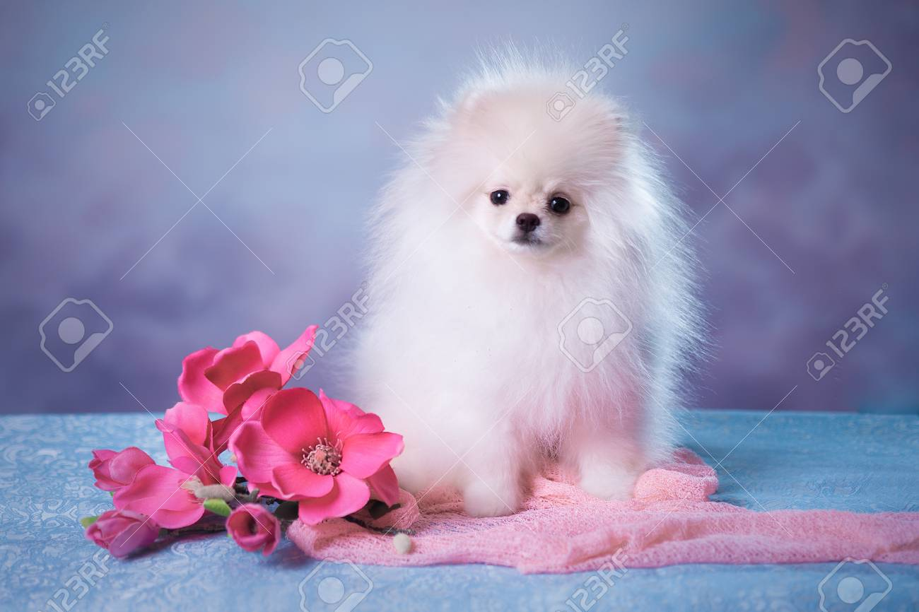 Cute White Fluffy Puppy Stock Photo Picture And Royalty Free Image Image 98412332