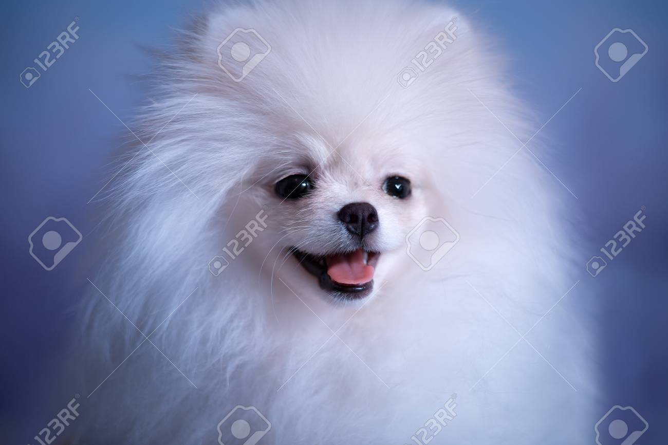 Cute White Fluffy Puppy Stock Photo Picture And Royalty Free Image Image 98432286