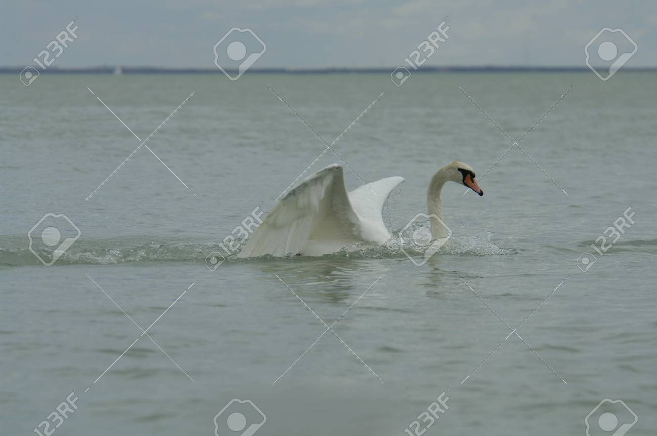 beautiful seascape and white swan Stock Photo - 17668480