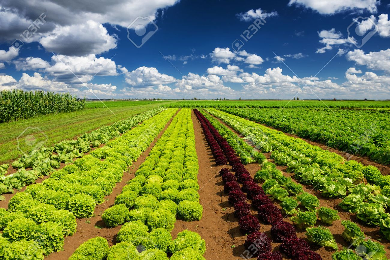Agricultural industry. Growing salad lettuce on field - 48624028
