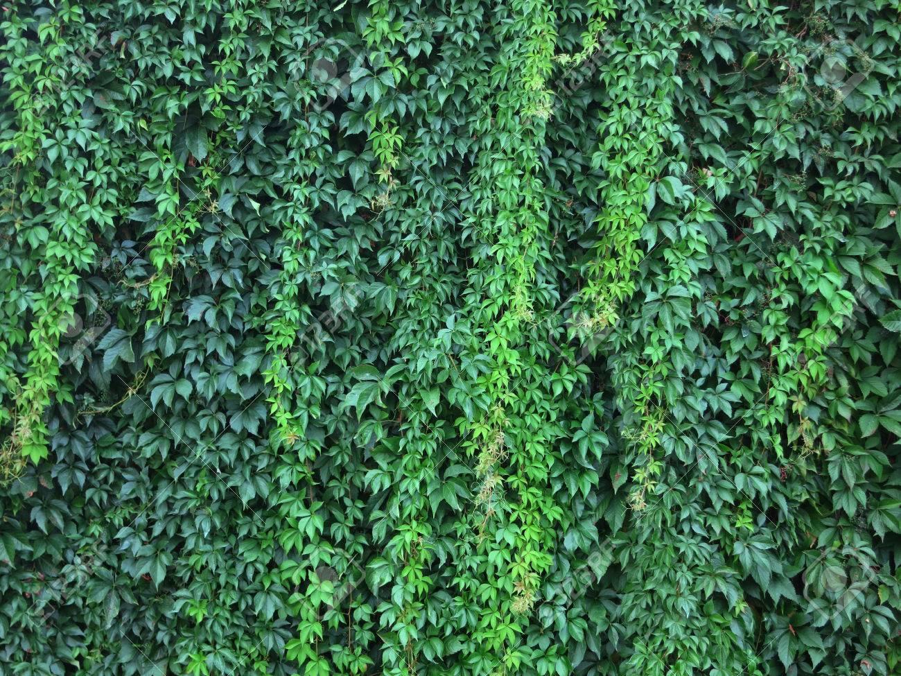 Wand Mit Grünen Blättern Einer Kletterpflanze. Wendland, Deutschland ...