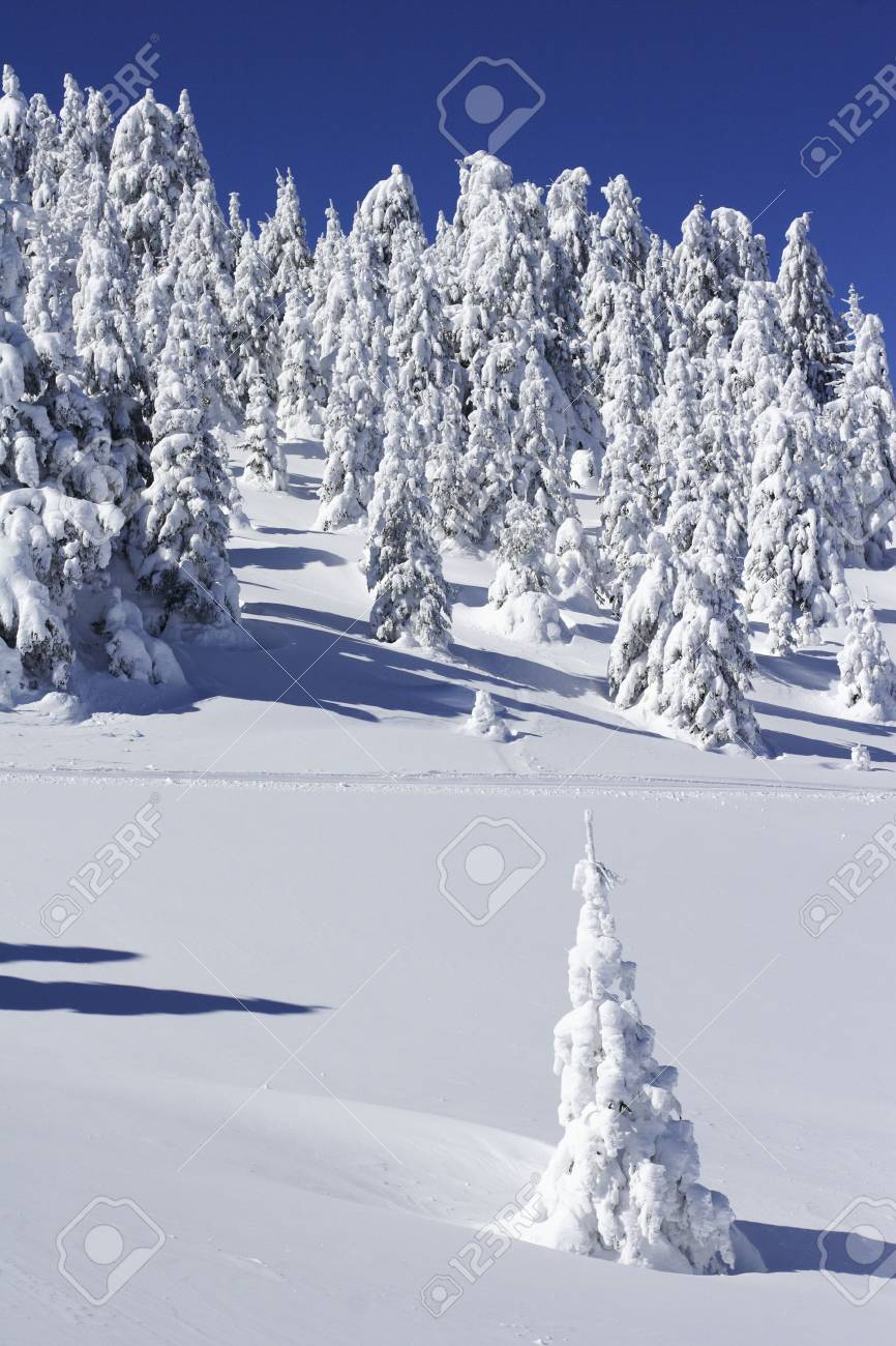 pine trees covered with new snow Stock Photo - 286213