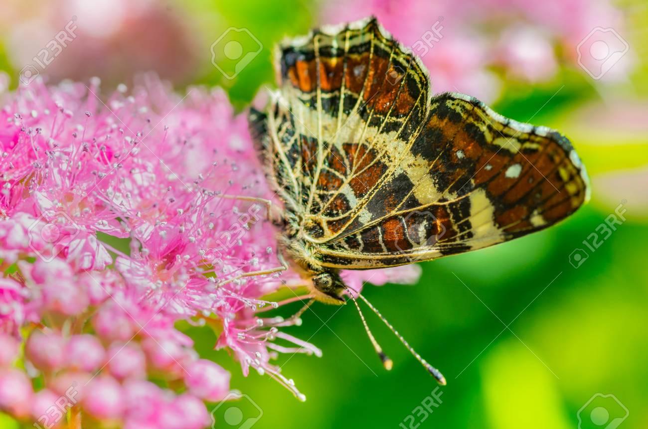 Ein Schmetterling Mit Schönen Flügeln Auf Der Blume, Isst Nektar Und ...