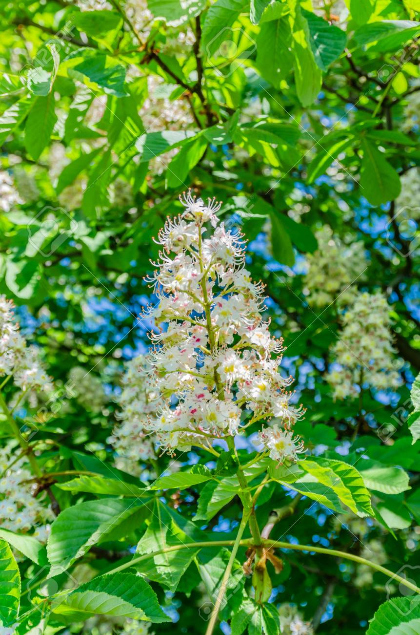 The Chestnut Tree Blossoms In The Spring Beautiful White Leaves With