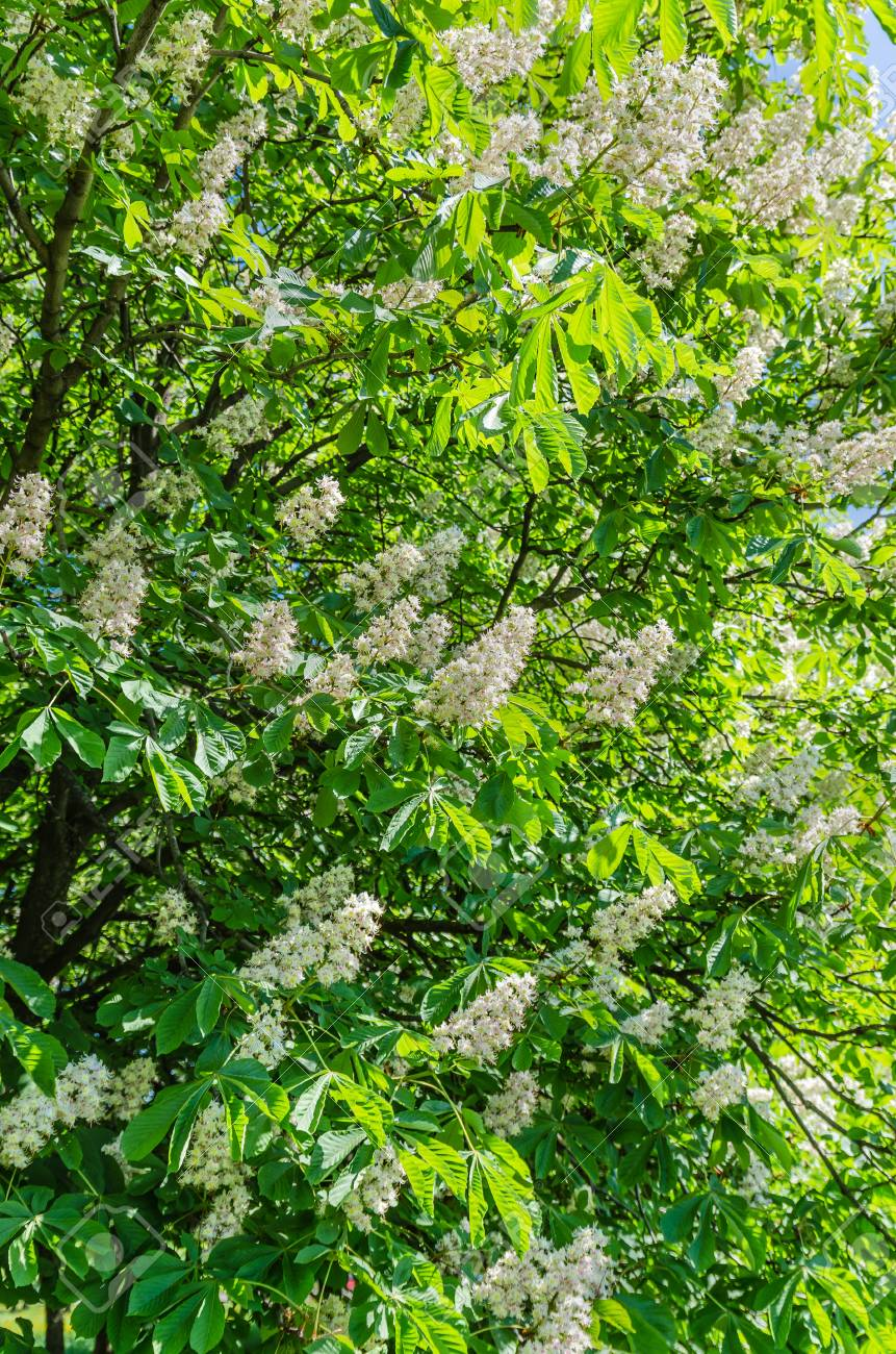 The Chestnut Tree Blossoms In The Spring Beautiful White Leaves