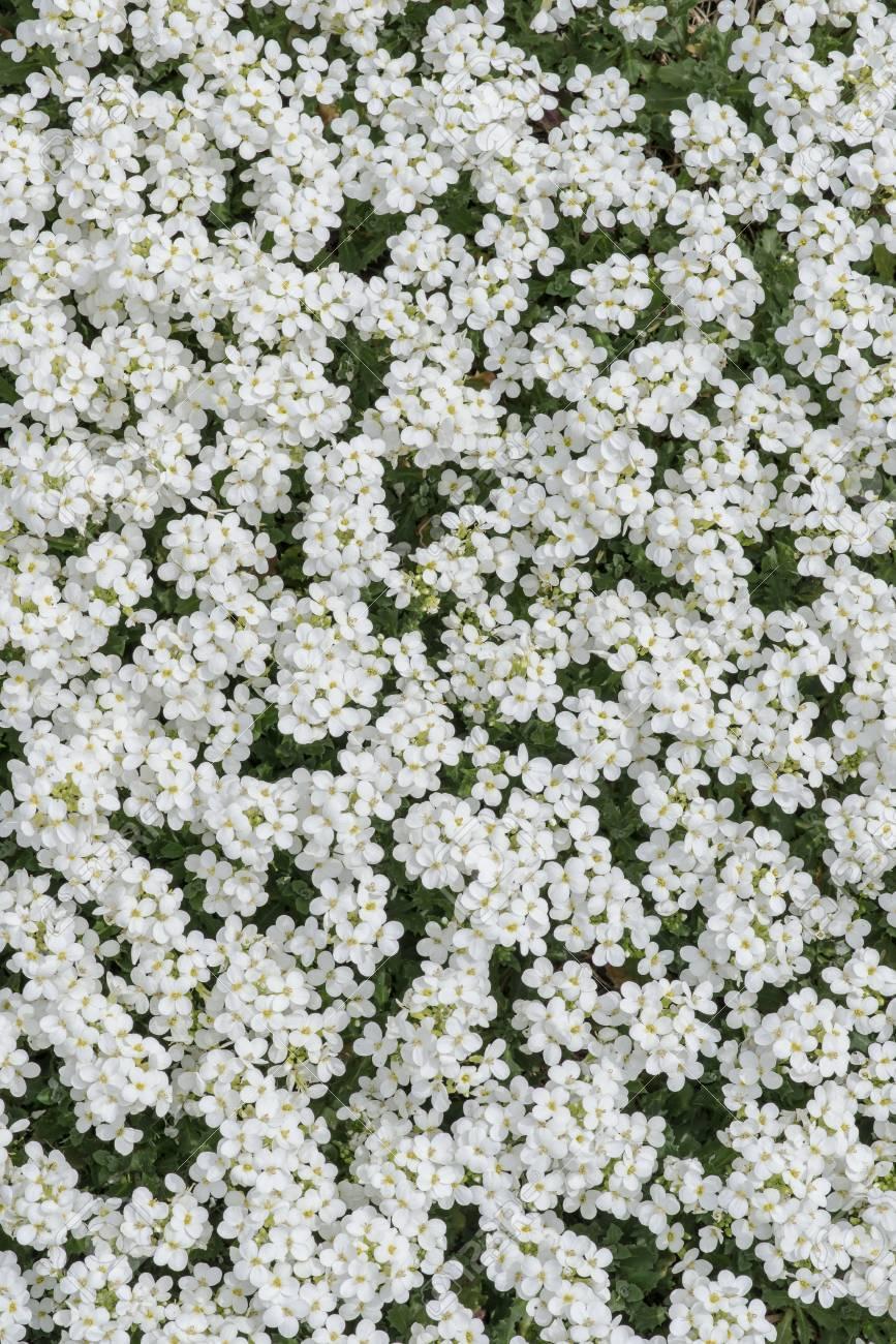 Carpet of white flowers veronica close up stock photo picture and carpet of white flowers veronica close up stock photo 34606017 mightylinksfo