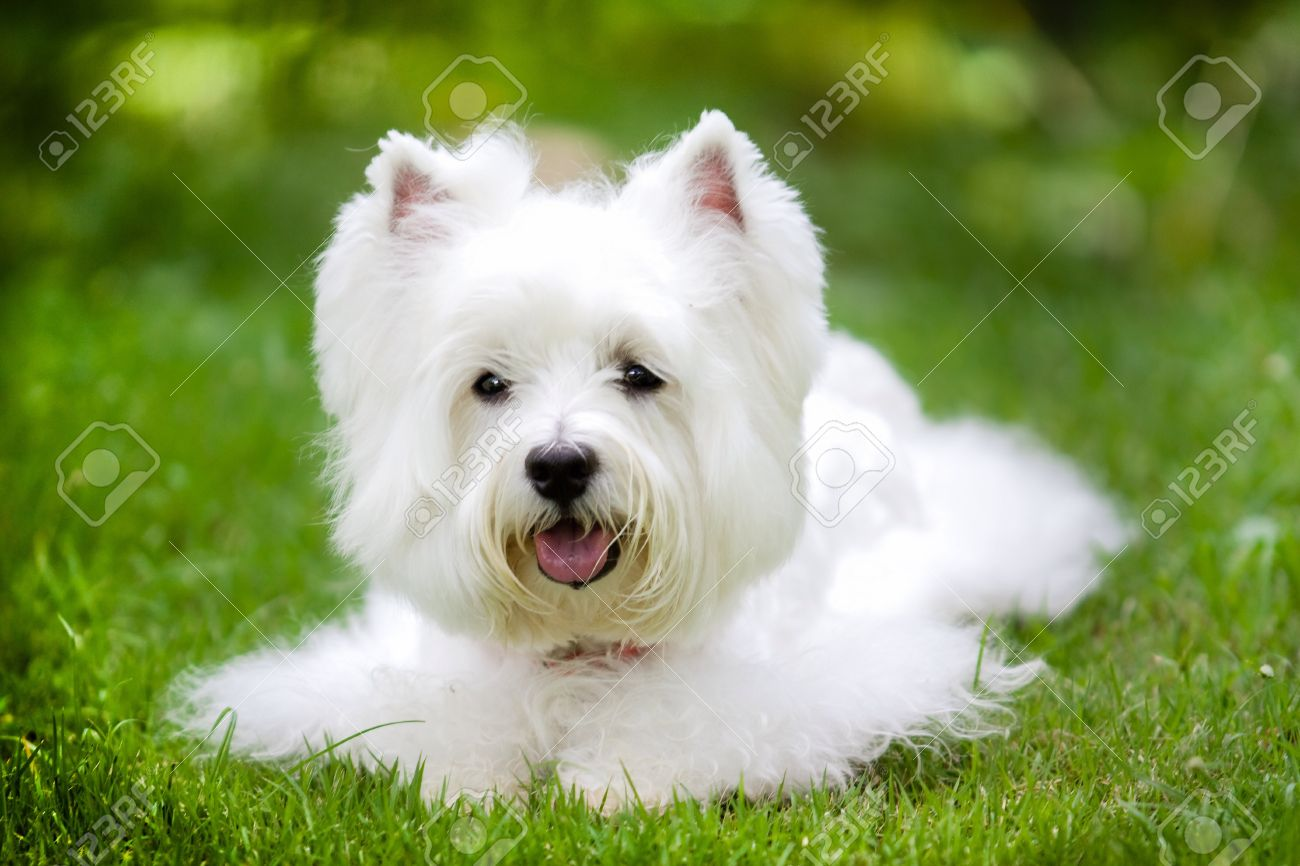 cute and fluffy westie dog at backyard stock photo picture and