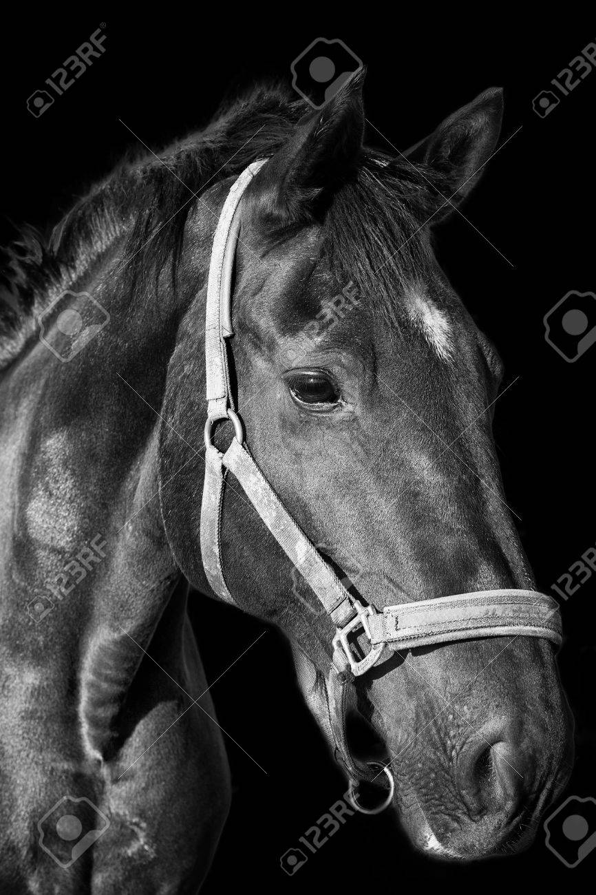 Black horse portrait on the dark background black and white photography stock photo 65957279