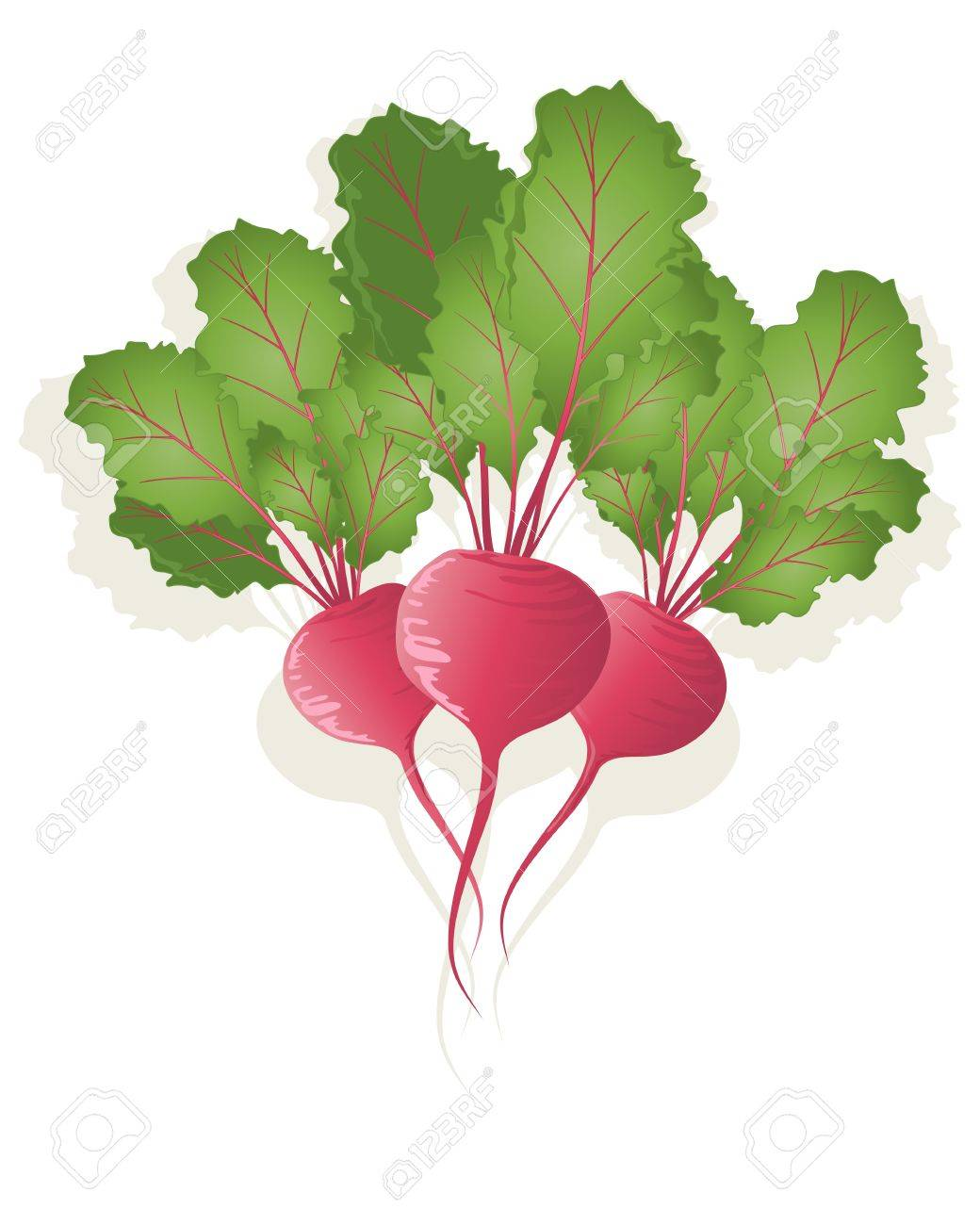 an illustration of three bright red beetroot plants with crimson stems and green leaves on a white background Stock Vector - 13081951