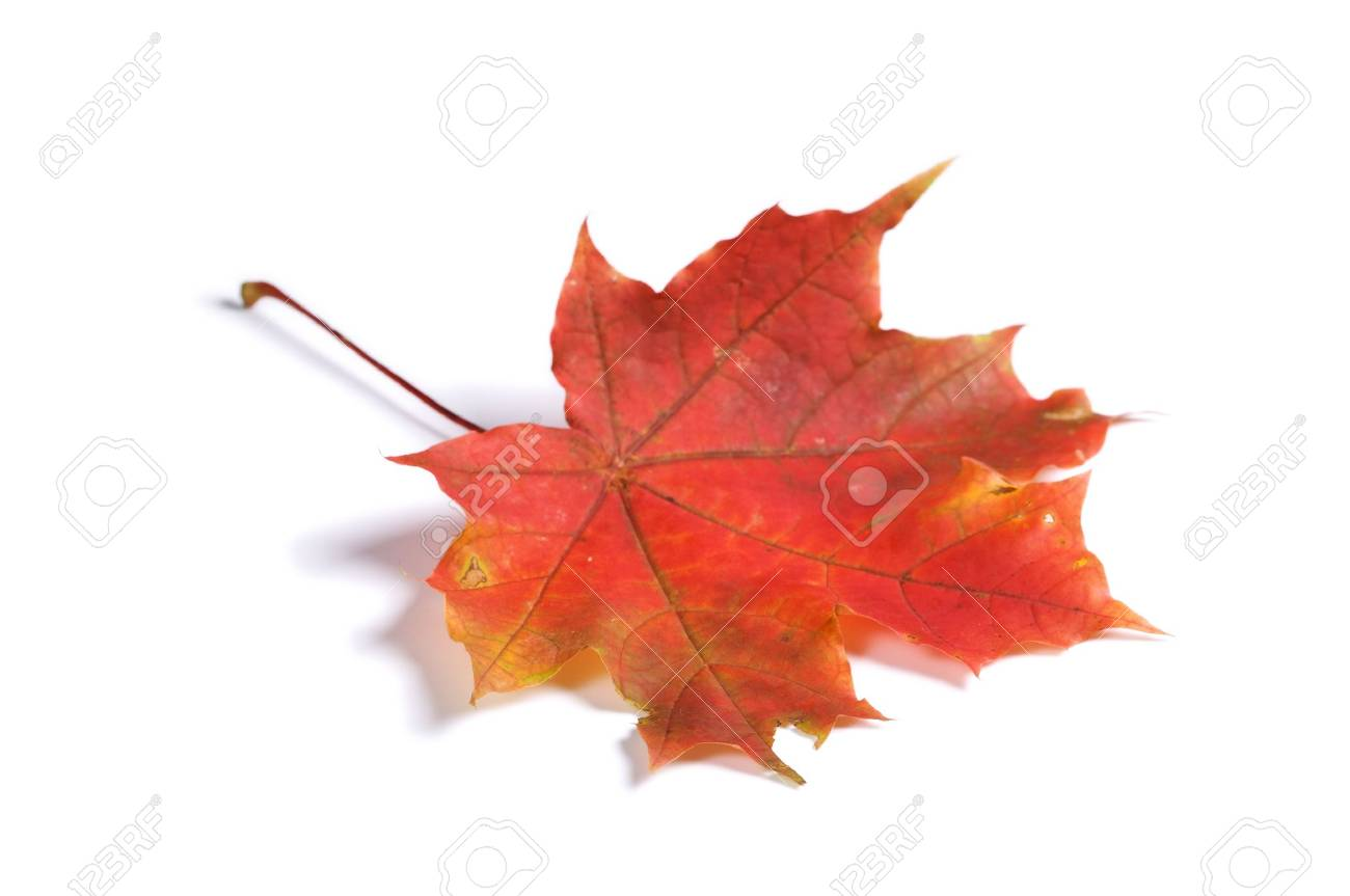 Closeup of maple autumn leaf on white background with light shadow - 2789669