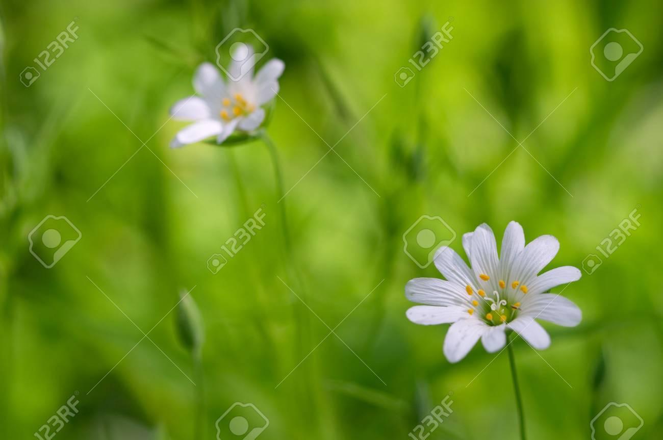 White Flowers On Green Grass Background Focus On Nearest Flower