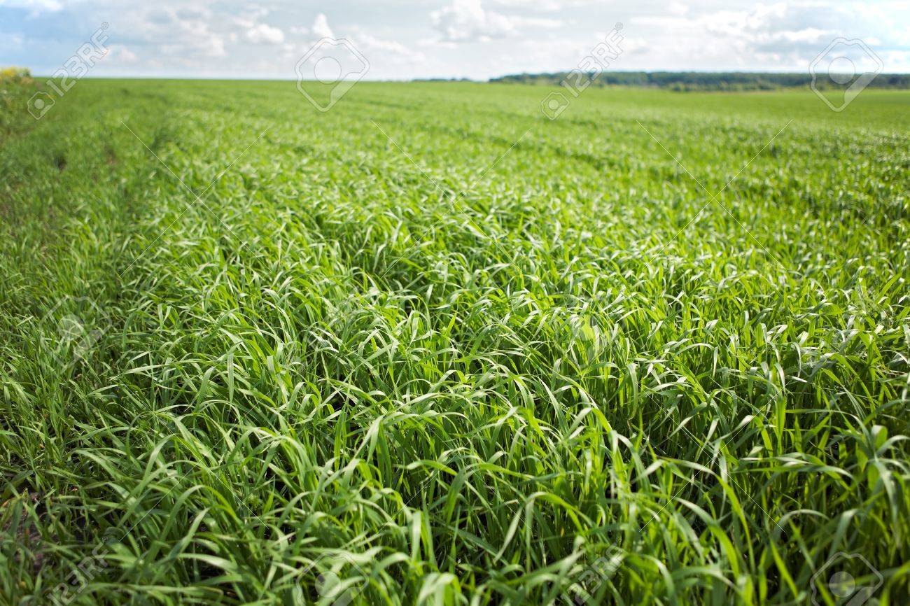 Green grass background - cultivated land with wheat sprouts (corn shoots) - 9295303