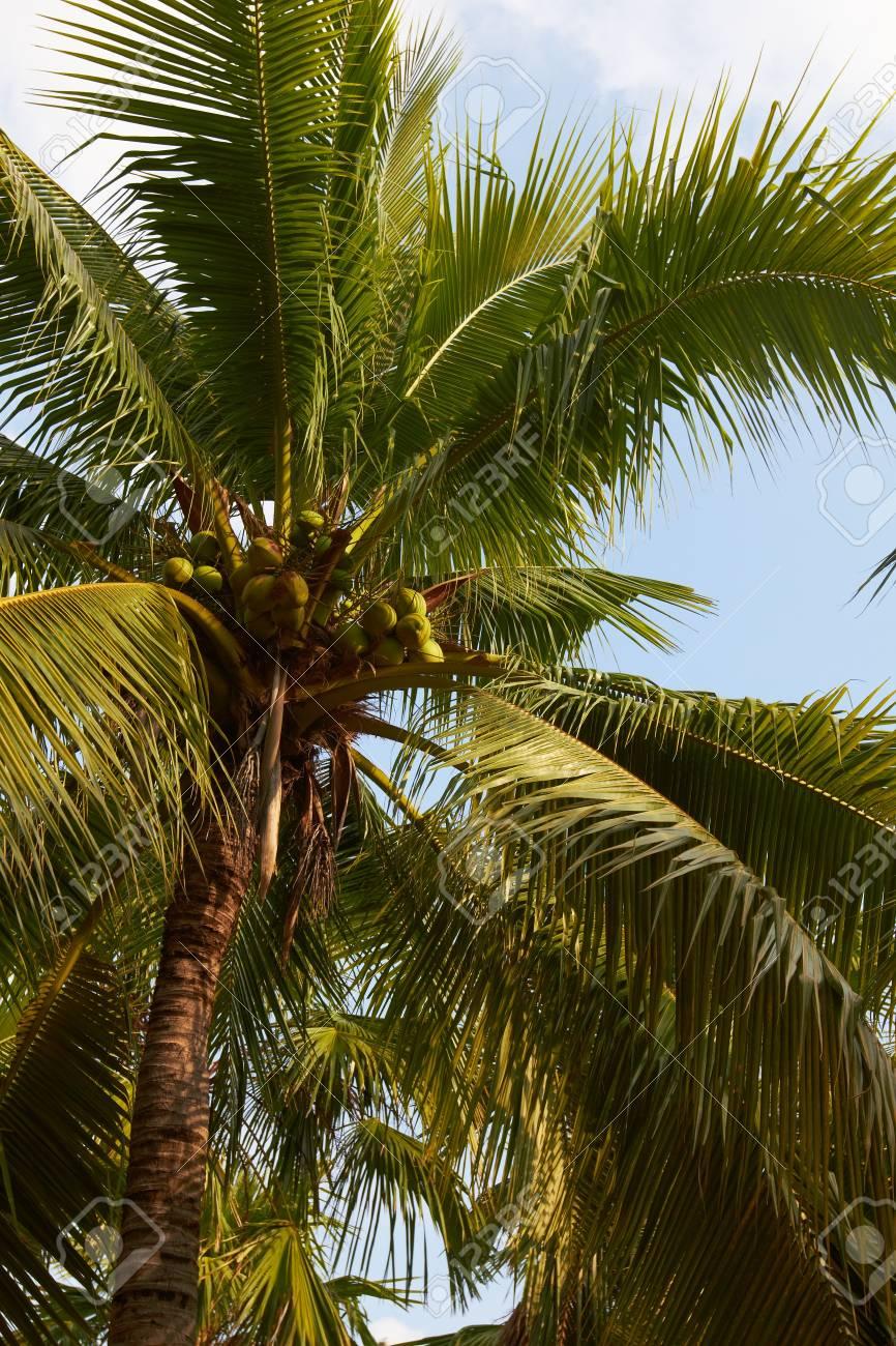 Tropical coconut palm on sunny blue sky - Thailand - 12535763