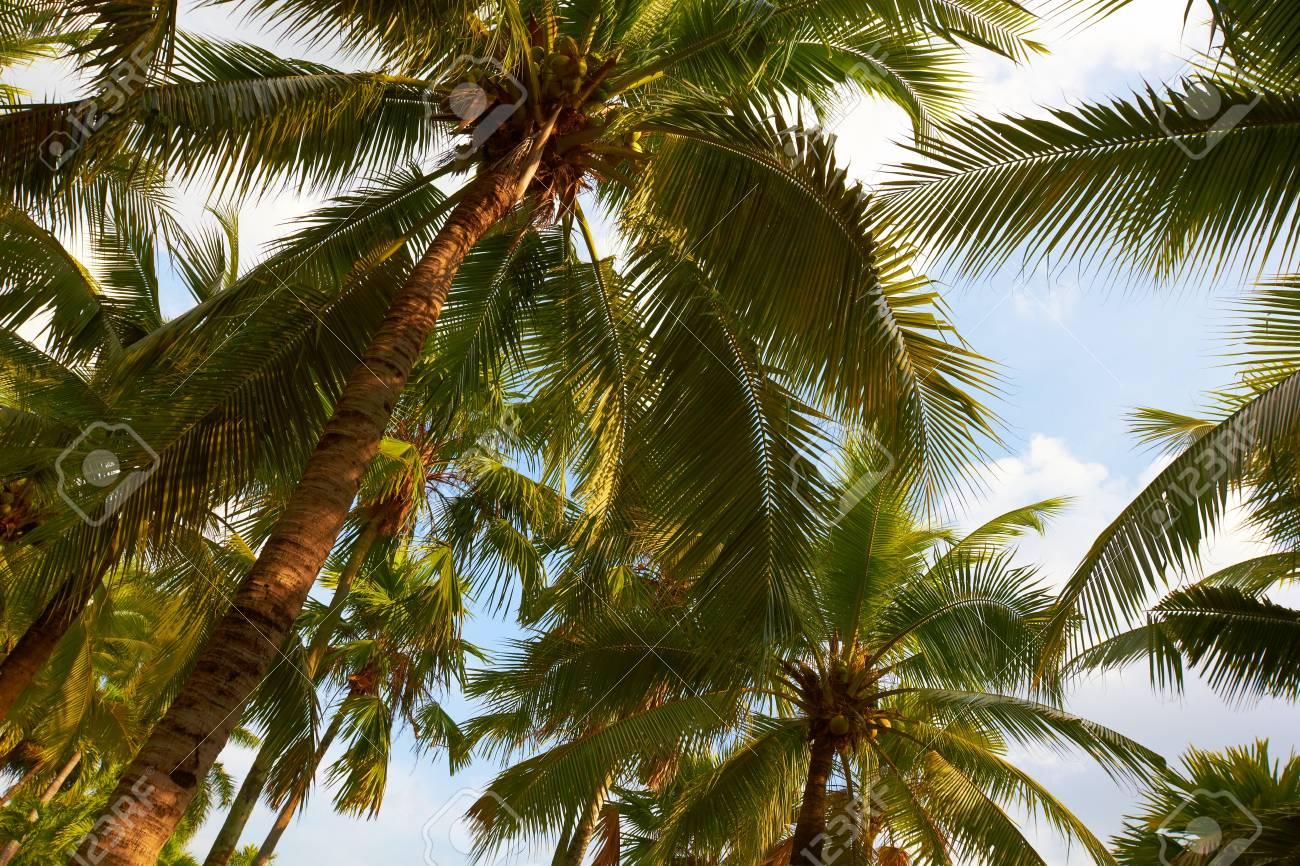 Tropical coconut palms on sunny blue sky - Thailand - 12535764