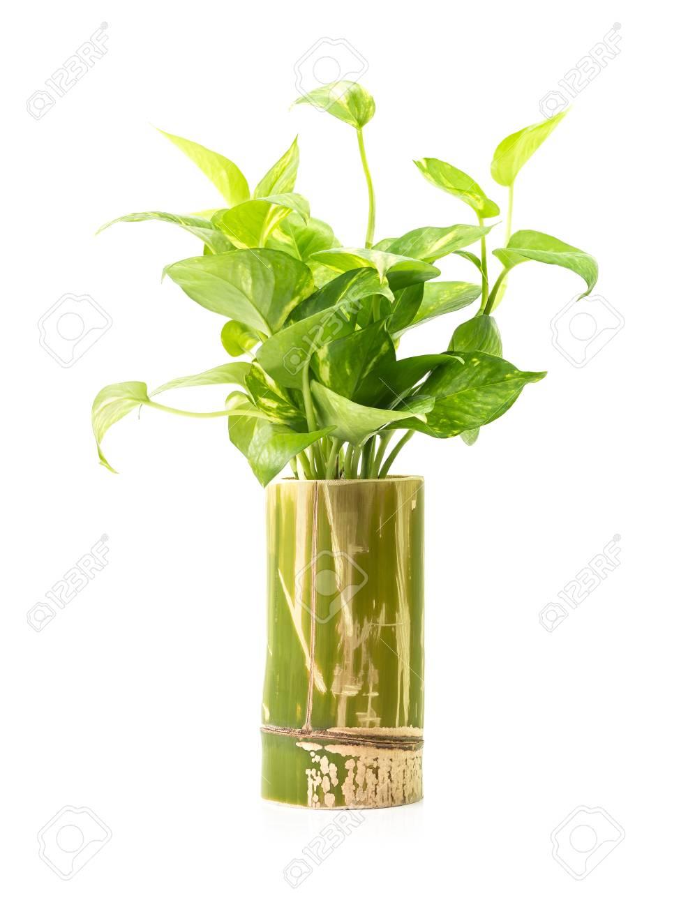 Grune Zimmerpflanze In Der Bambus Holz Vase Isoliert Auf Weissem
