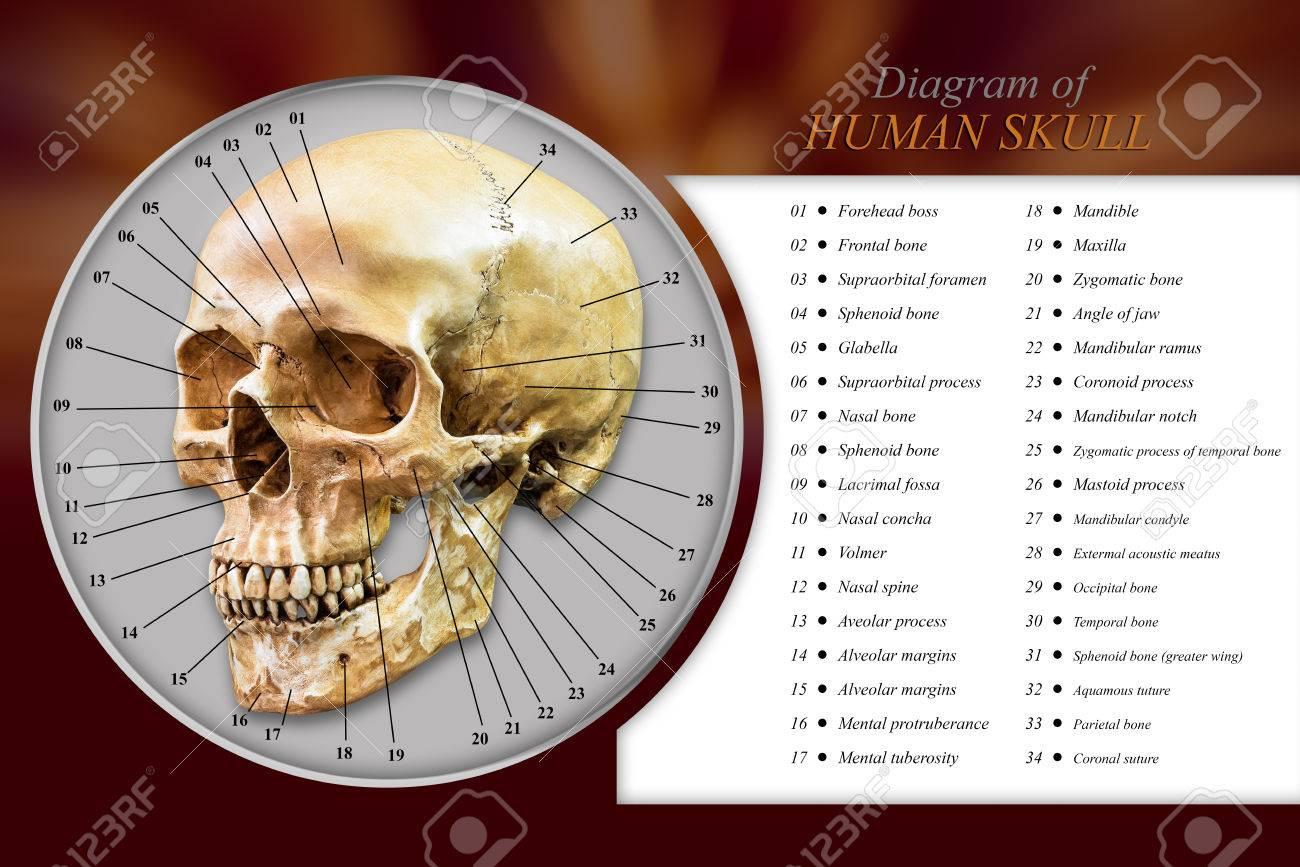 Medical Skull Diagram Find Wiring Diagram