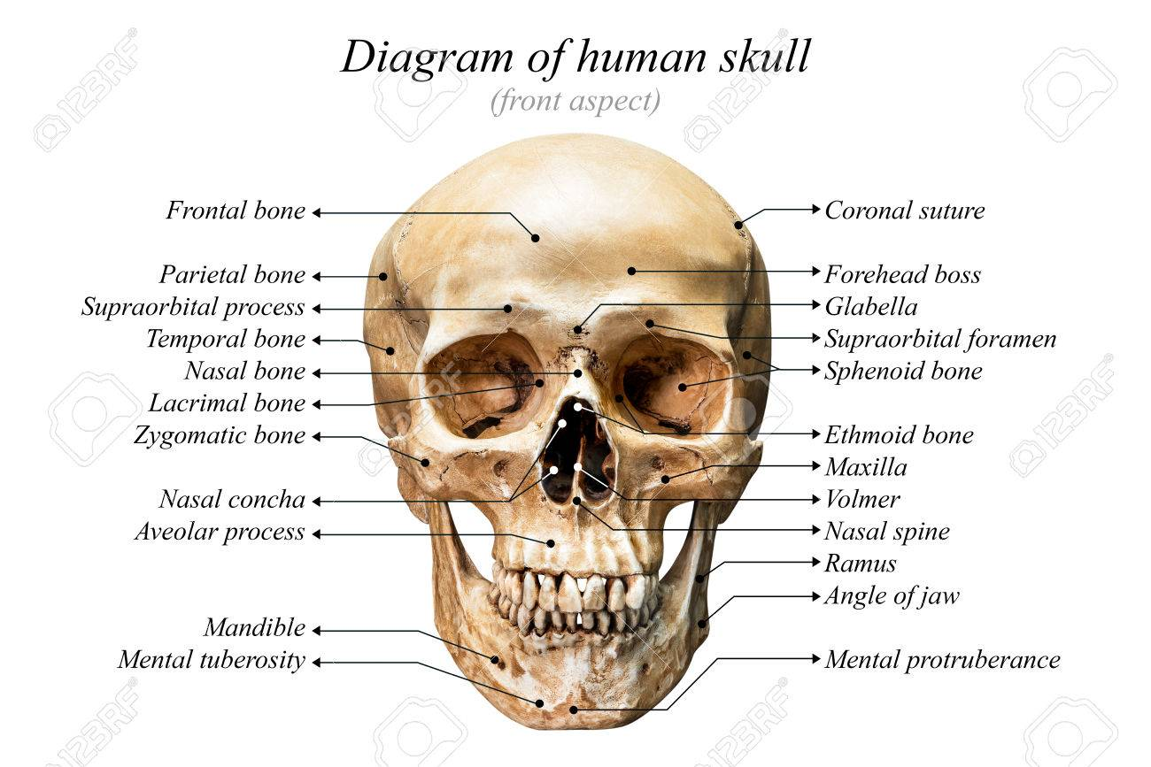 front aspect of human skull diagram on white background for basic medical  education stock photo -