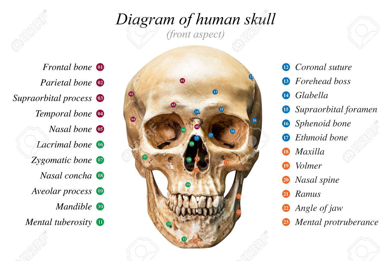 Skull Diagram Medical Electrical Work Wiring Diagram