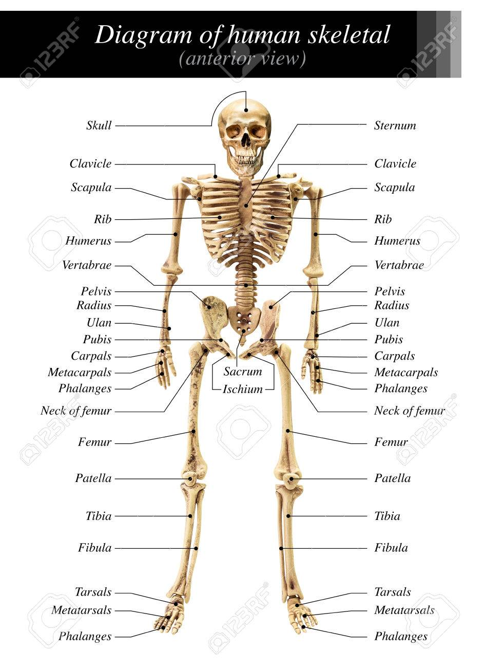 Human Skeleton Diagram In Anterior View On White Background For