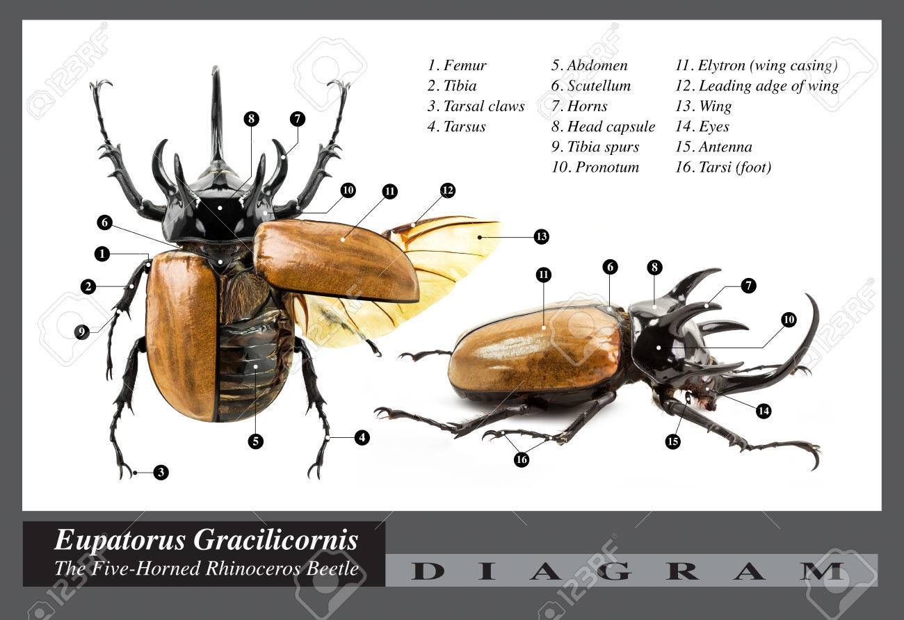 Eupatorus Gracilicornis Beetle, The Five-horned Rhinoceros Beetle ...