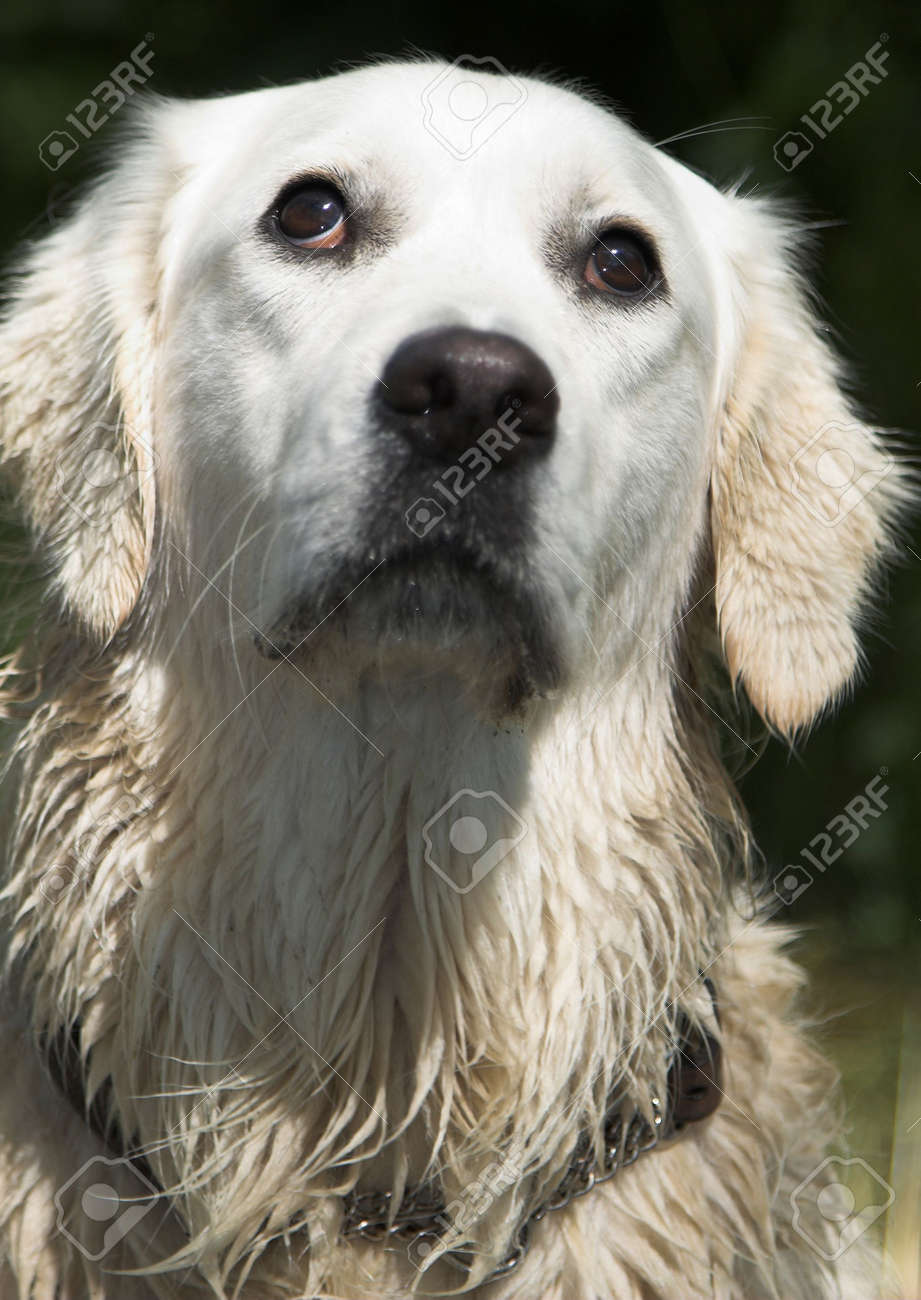 Wet Golden Retriever Looking Up With Those Big Dog Eyes Stock Photo