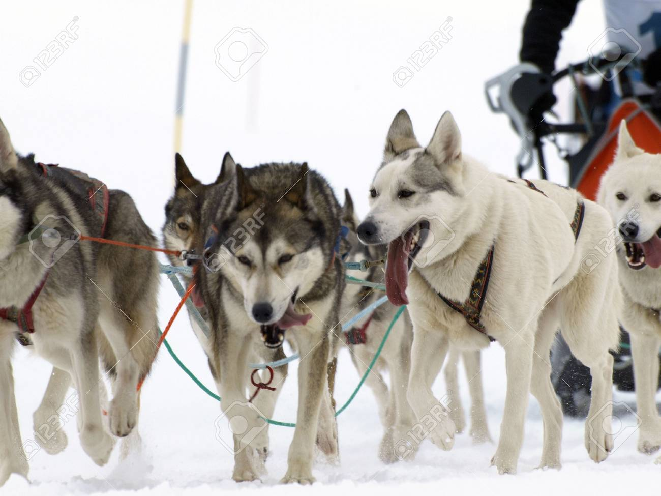 dogs runnig on the snow Stock Photo - 6447819