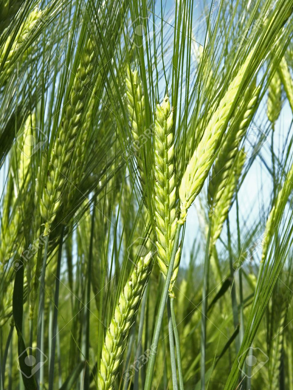 wheat plant stock photo picture and royalty free image image 13943149