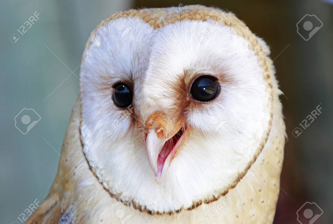 The White Face Of A Spanish Barn Owl Stock Photo Picture And Royalty Free Image Image 24527578