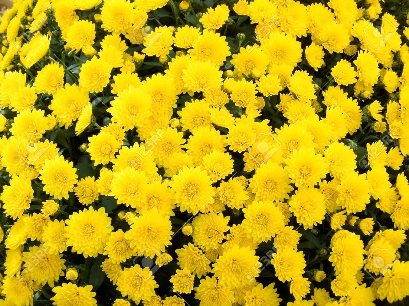 Yellow chrysanthemums merry gold flowers decoration of any yellow chrysanthemums merry gold flowers decoration of any holiday stock photo 2102767 mightylinksfo
