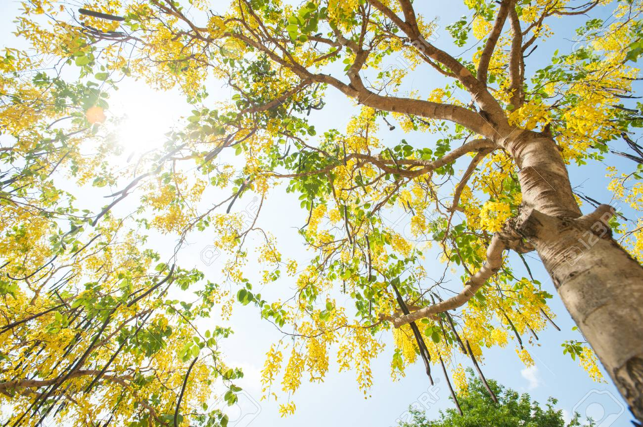 The blooms of esala the beautiful golden yellow flowers of the the beautiful golden yellow flowers of the tree were in full bloom purging cassia cassis fistula linn national flower of thailand mightylinksfo