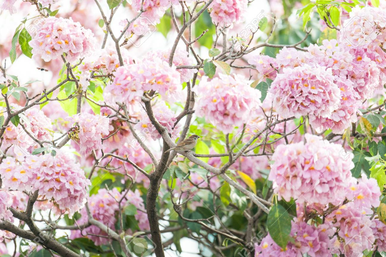 Pink trumpet tree or tabebuia rosea fresh pink flowers and green pink trumpet tree or tabebuia rosea fresh pink flowers and green leaves on branches of mightylinksfo