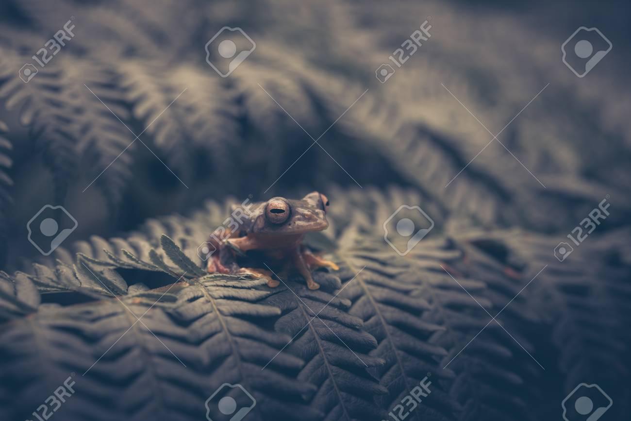 Rhacophorus bipunctatus (Double-spotted Tree frog, Orange-webbed